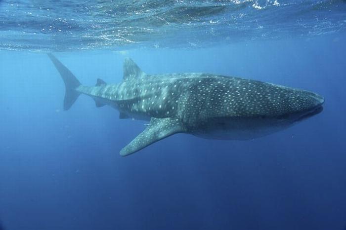 Фото 23, Китовая акула (27 фотографий)